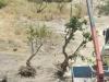 mdina-trees